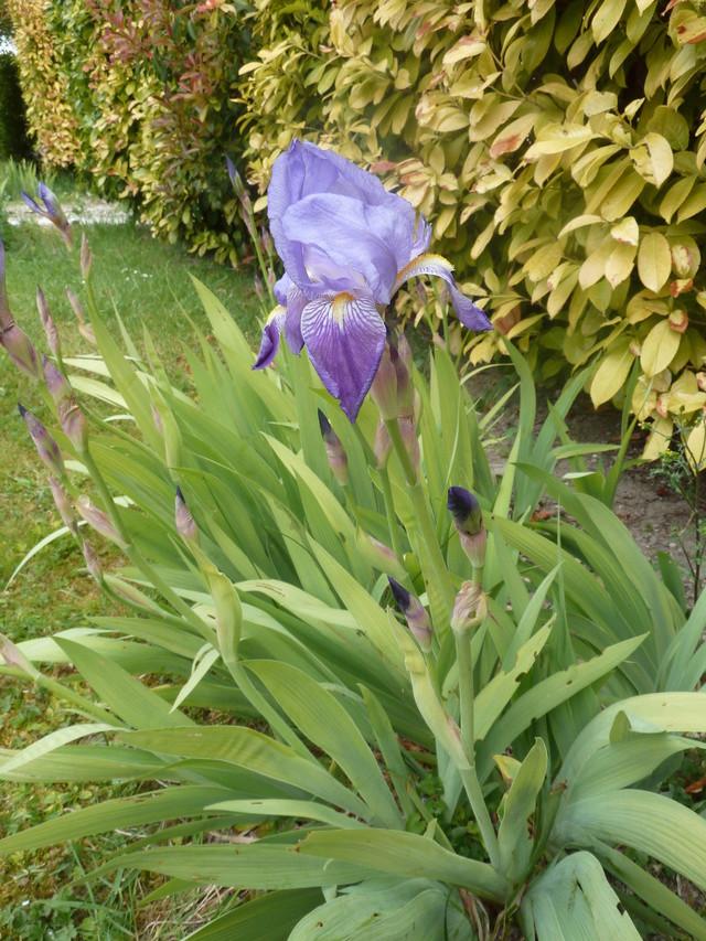Iris 'Autumn King' ? - Flora [identification en cours] P1280811