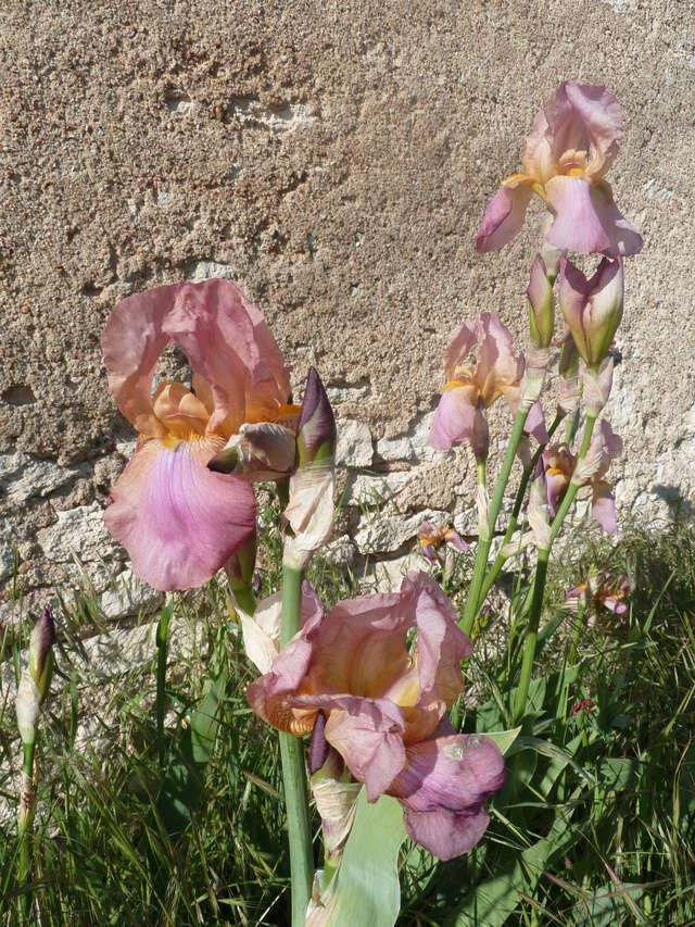 Iris rose - Flora [identification non terminée] P1280913