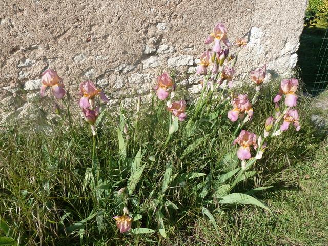 Iris rose - Flora [identification non terminée] P1280914