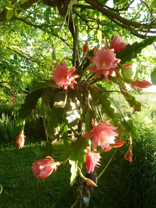 Epiphyllum - floraisons - Page 5 P1310210