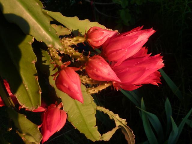 Epiphyllum - floraisons - Page 5 P1310410