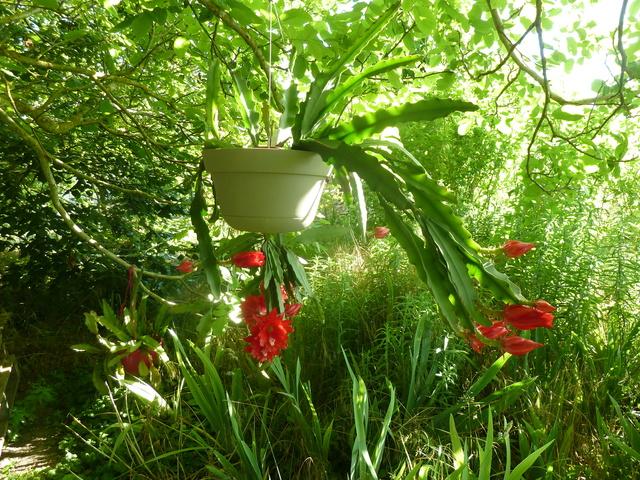 Epiphyllum - floraisons - Page 5 P1310510