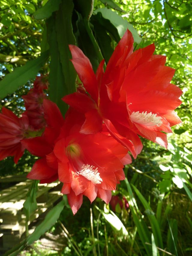 Epiphyllum - floraisons - Page 5 P1310511