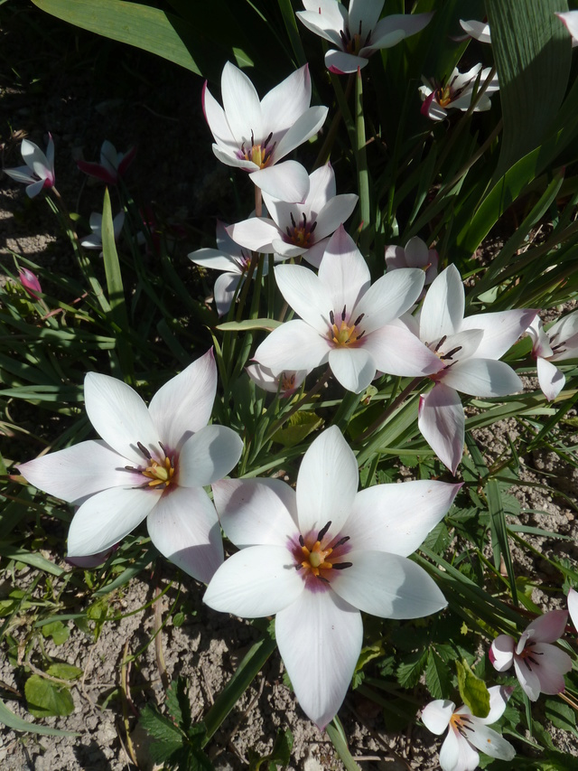 Tulipes : botaniques ou pas ?? Tulipa11