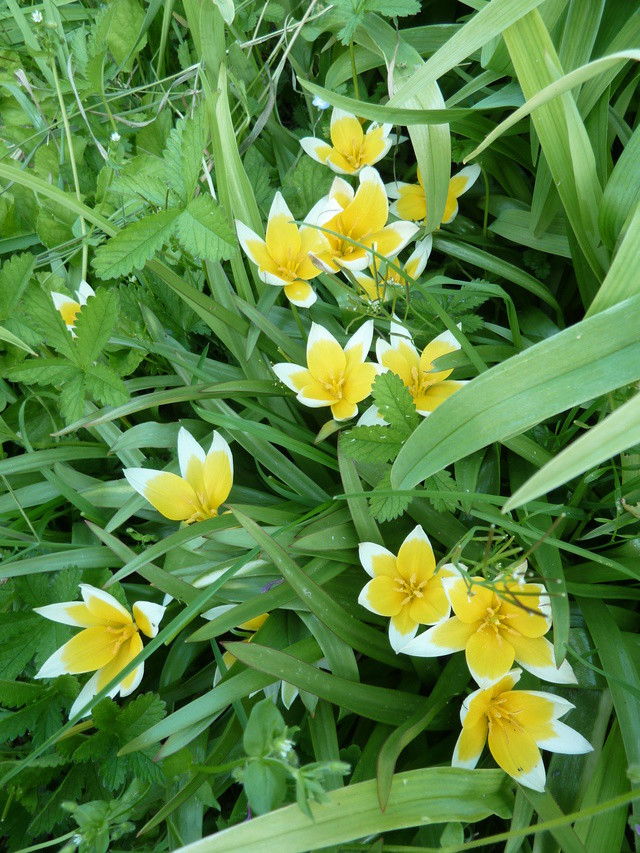 Tulipes : botaniques ou pas ?? Tulipe10