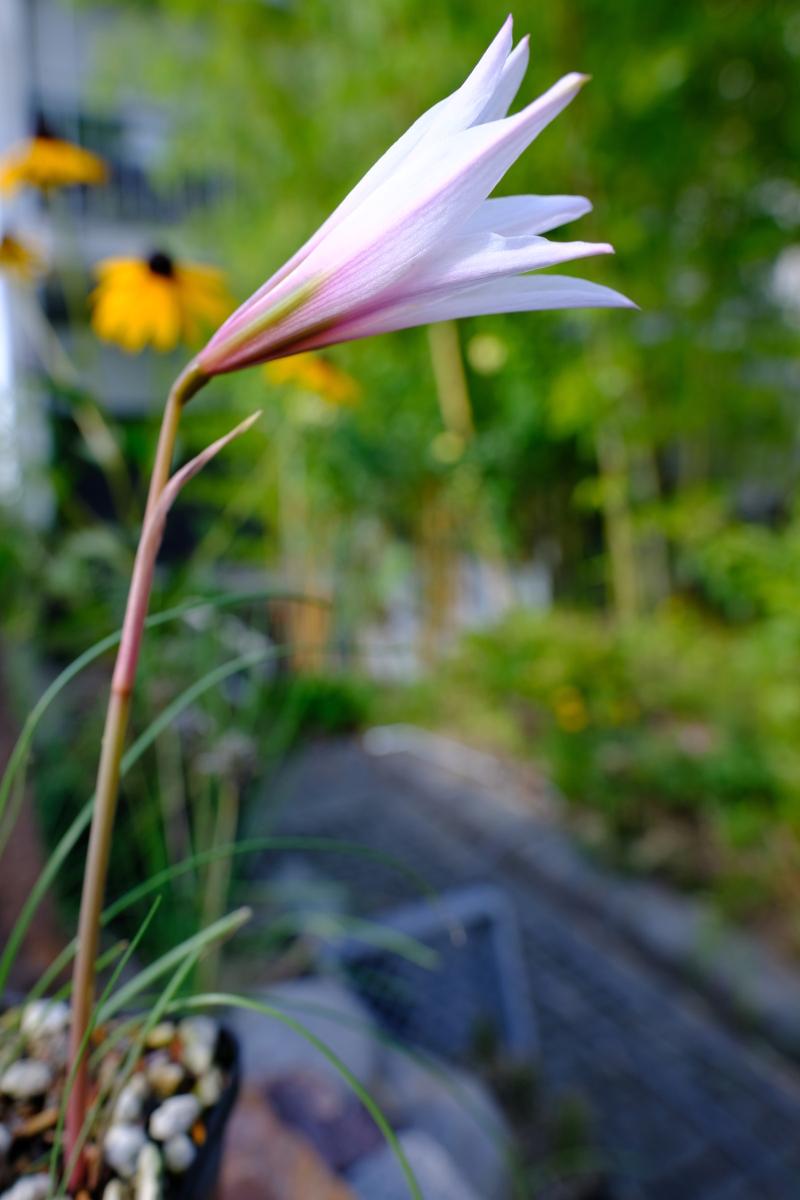 Amaryllisgewächse - Amaryllidaceae (Hippeastren, Nerine, Amaryllis, Agapanthus und auch Allium & Narzissen) - Seite 60 Dscf0313