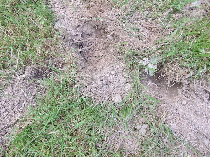 Des trous dans ma pelouse. Qui?! Trous_10
