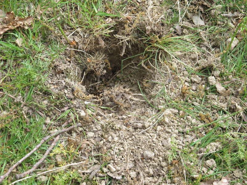 Des trous dans ma pelouse. Qui?! Trous_16