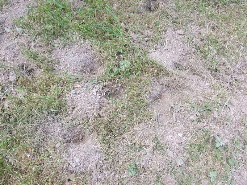 Des trous dans ma pelouse. Qui?! Trous_17