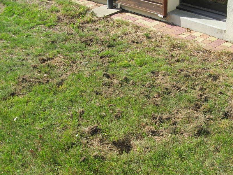 Des trous dans ma pelouse. Qui?! - Page 2 Trous_18