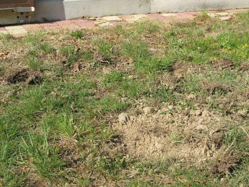 Des trous dans ma pelouse. Qui?! - Page 2 Trous_20