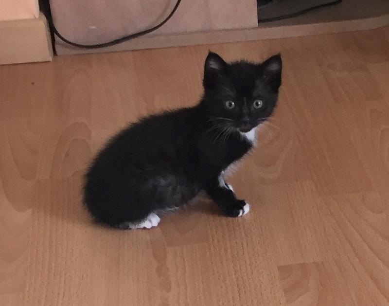 neptune - Neptune, chaton noir et blanc né en mars 2017 Img_6211