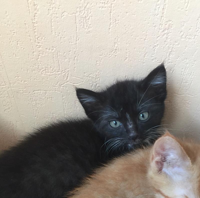 neptune - Neptune, chaton noir et blanc né en mars 2017 Img_6218
