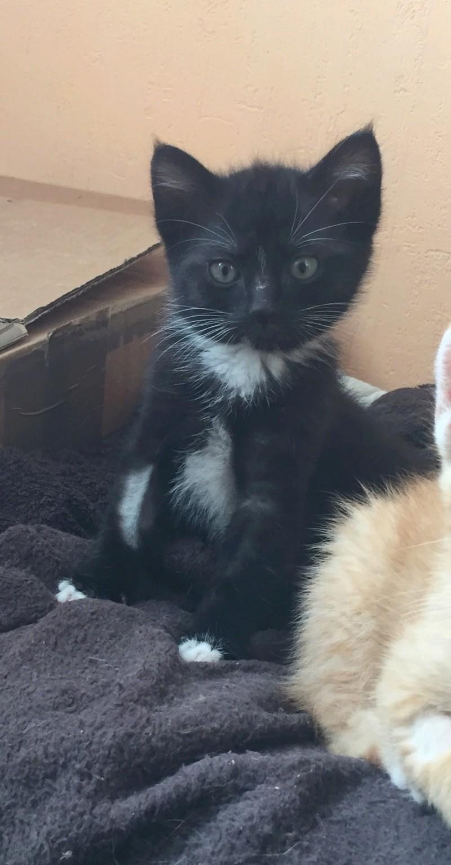neptune - Neptune, chaton noir et blanc né en mars 2017 Img_6219