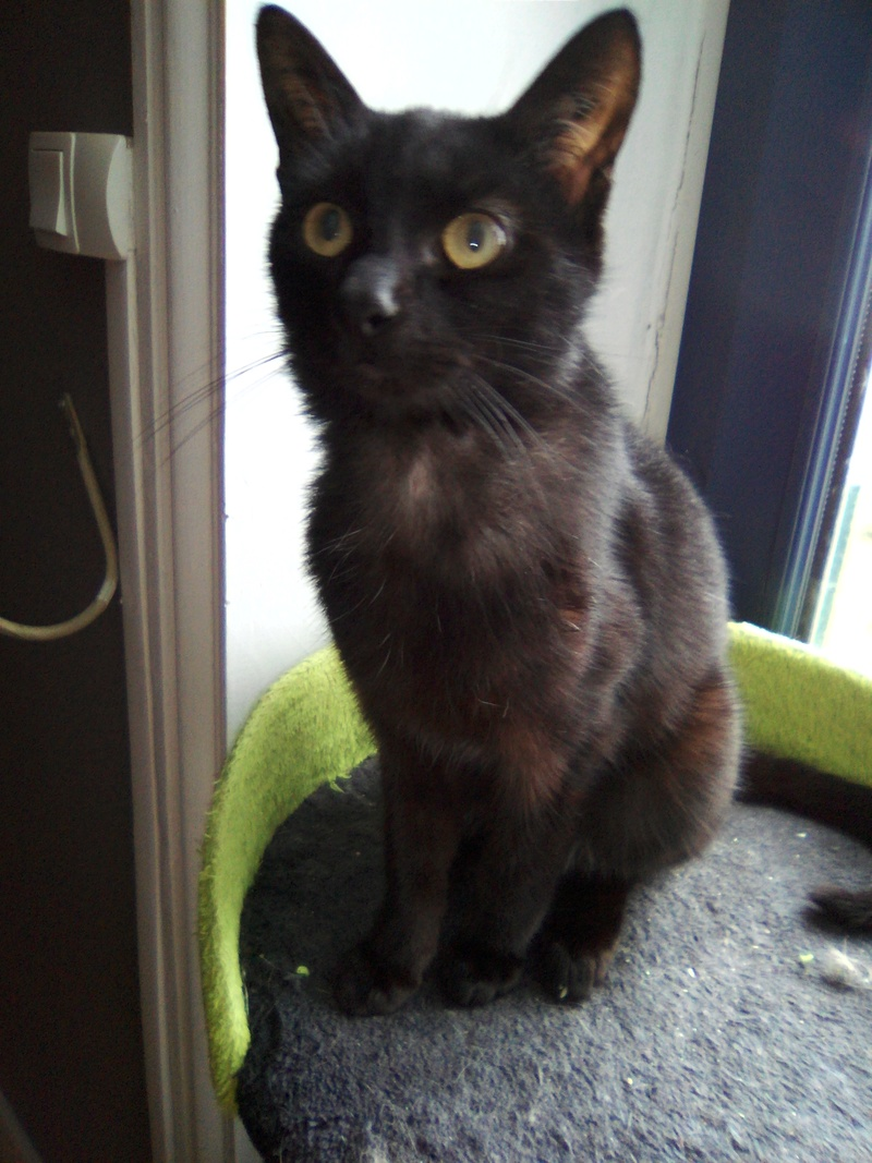 mosé - Mosé, adorable mini chat européen, noir à reflets chocolat, né en juin 2016 Img_2031