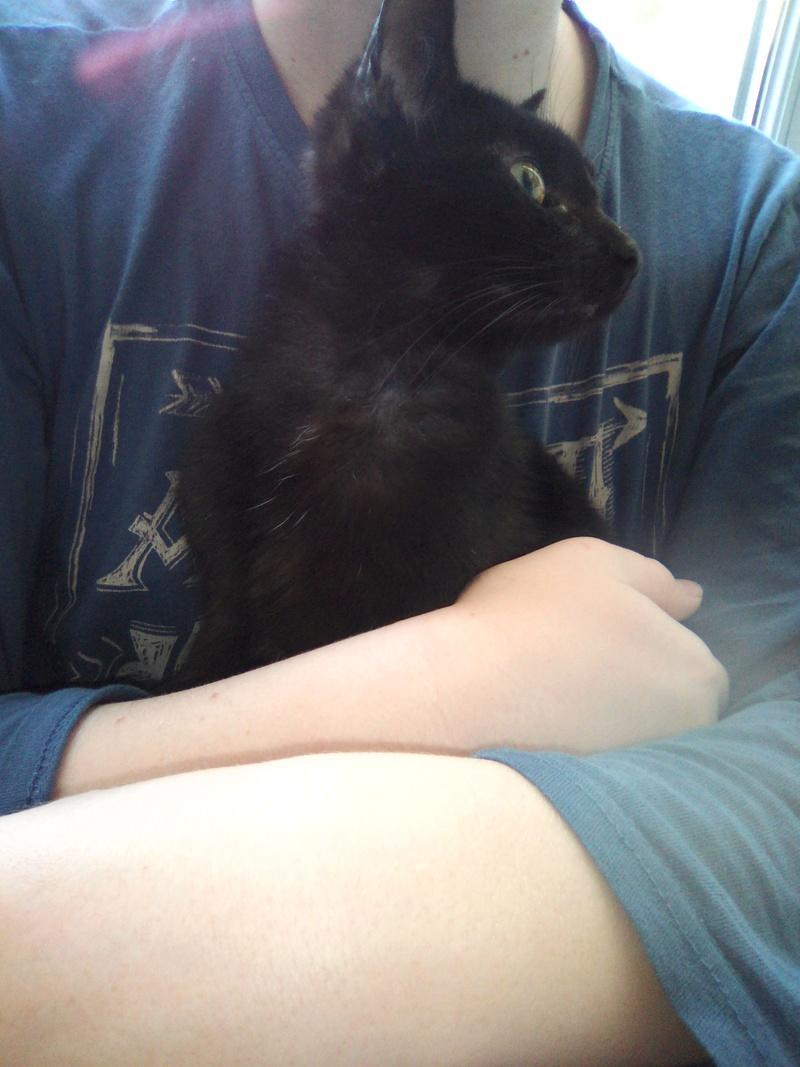 mosé - Mosé, adorable mini chat européen, noir à reflets chocolat, né en juin 2016 Img_2035