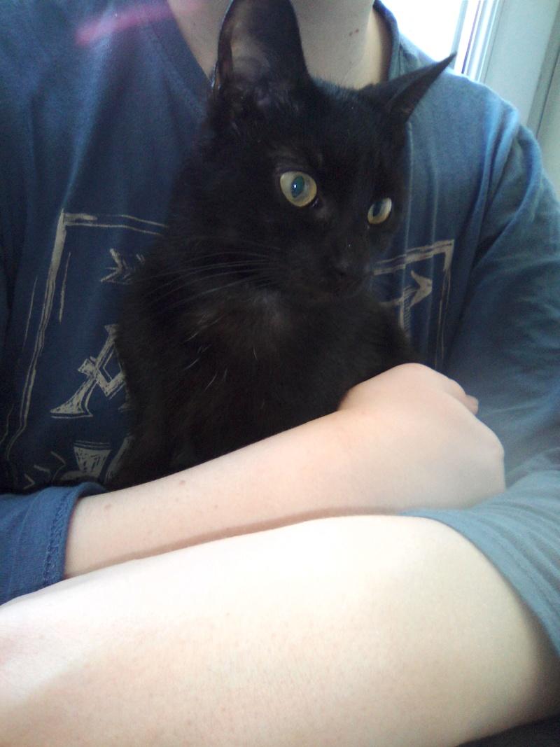 mosé - Mosé, adorable mini chat européen, noir à reflets chocolat, né en juin 2016 Img_2037
