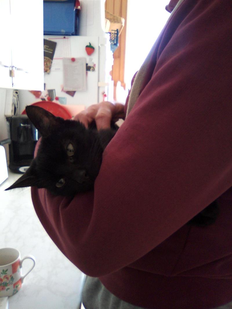 mosé - Mosé, adorable mini chat européen, noir à reflets chocolat, né en juin 2016 Img_2044