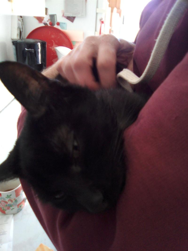 mosé - Mosé, adorable mini chat européen, noir à reflets chocolat, né en juin 2016 Img_2045