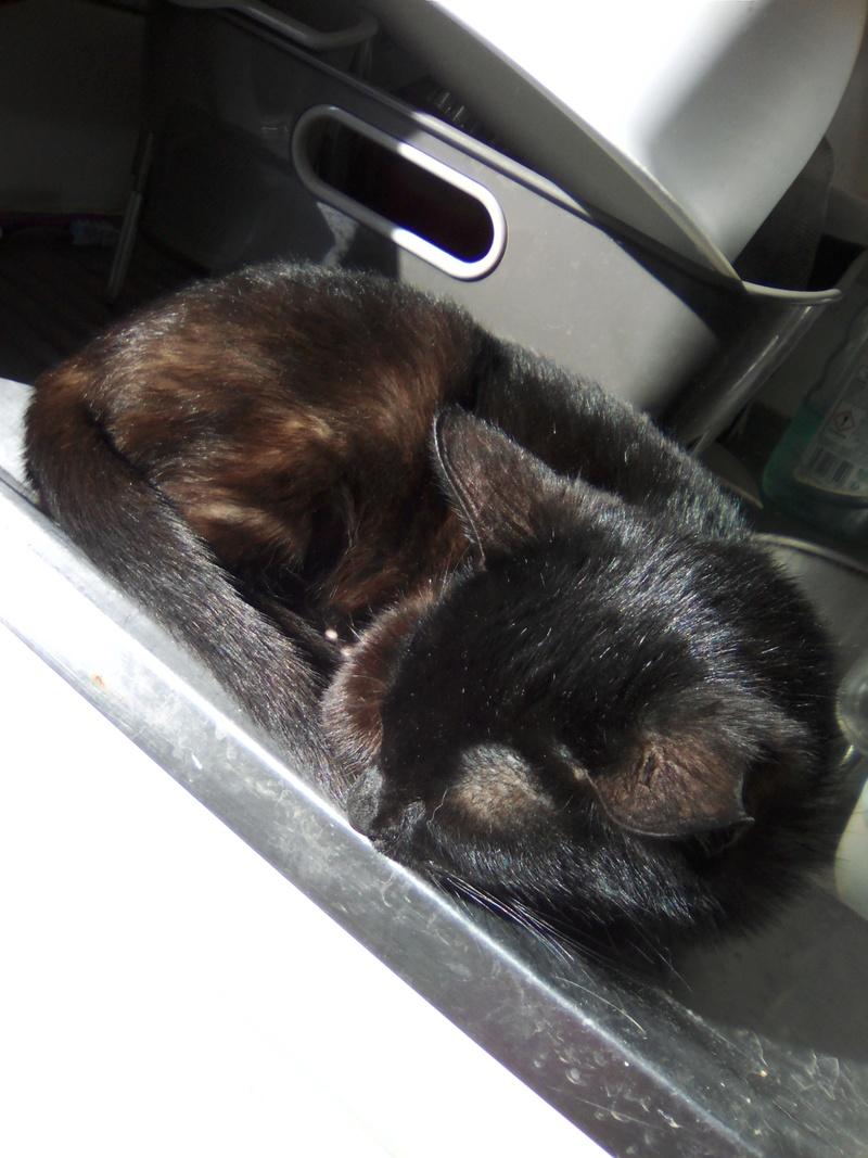 mosé - Mosé, adorable mini chat européen, noir à reflets chocolat, né en juin 2016 Img_2046
