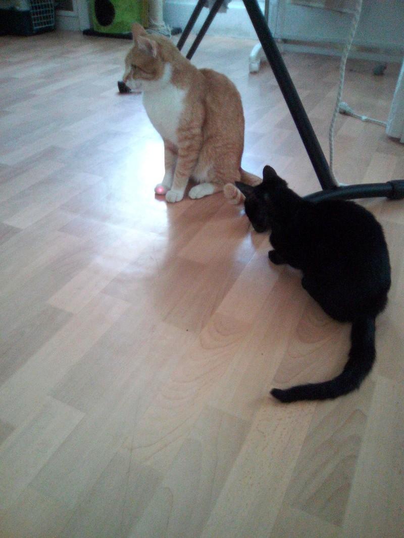 mosé - Mosé, adorable mini chat européen, noir à reflets chocolat, né en juin 2016 Img_2047