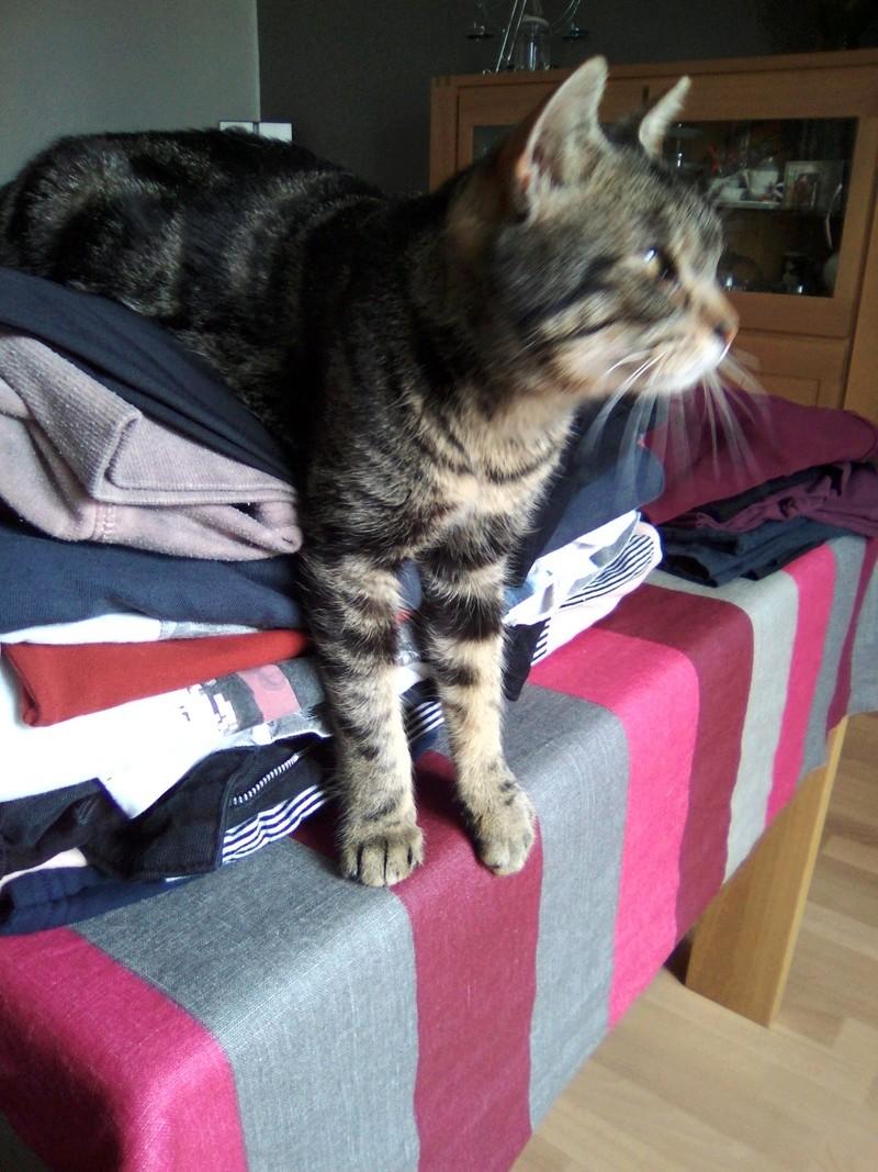 Mouty, jeune chat type européen, tigré, né en juin 2016 Img_2065