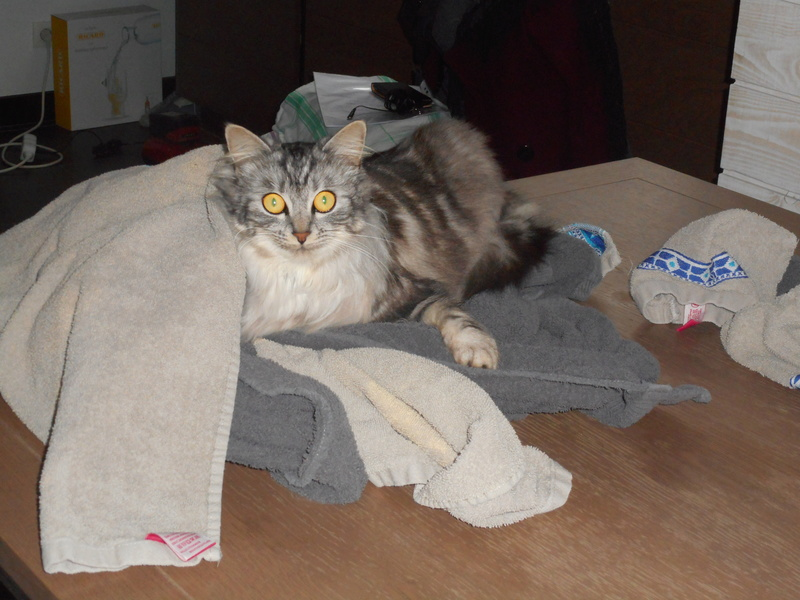 louna - LOUNA, chatonne tigrée claire, née le 01/06/2015 33310
