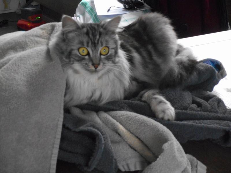 louna - LOUNA, chatonne tigrée claire, née le 01/06/2015 33410