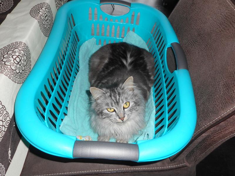 louna - LOUNA, chatonne tigrée claire, née le 01/06/2015 33610