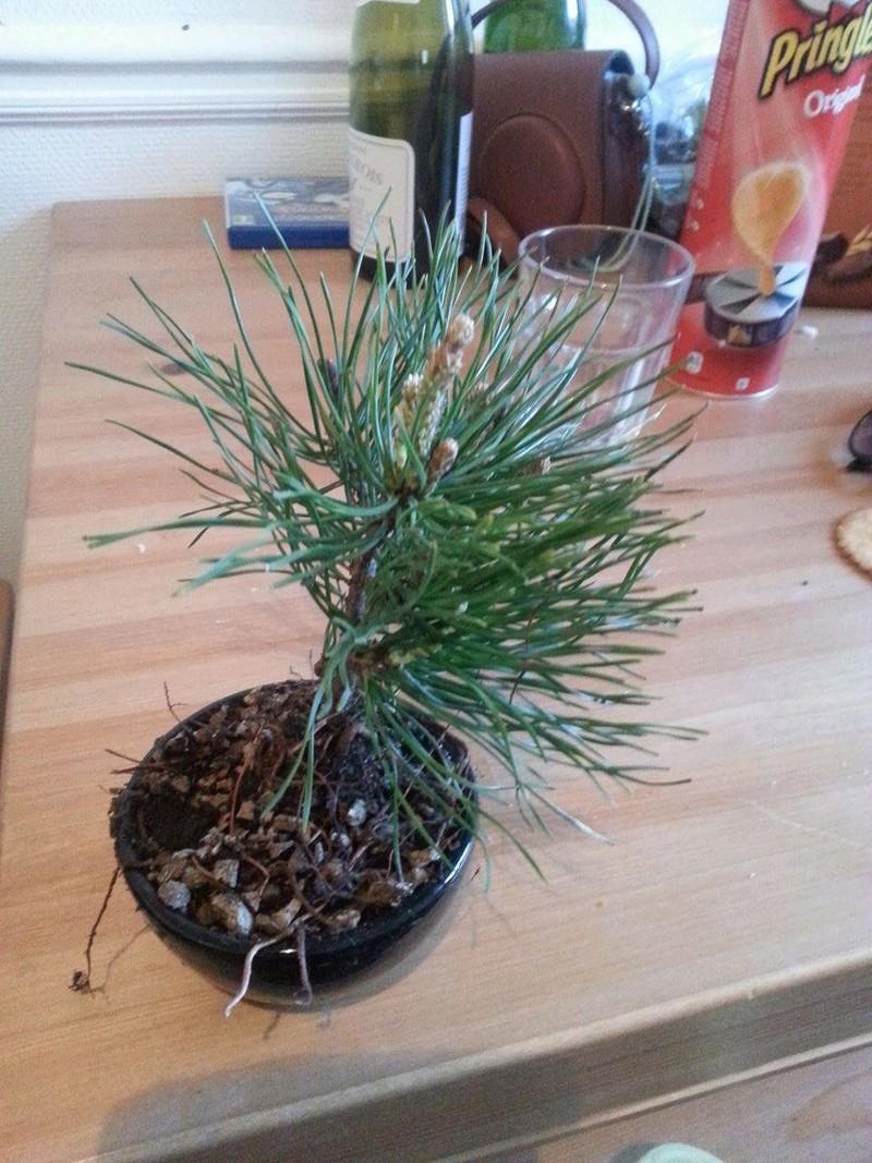 Le bonsaï pour les nuls... 16357510