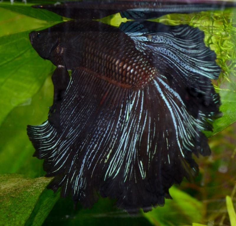 70L à poissons rouges Siam3b13