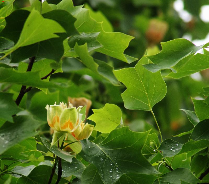 Liriodendron tulipifera et l'histoire Rochefortaise Imgp8115