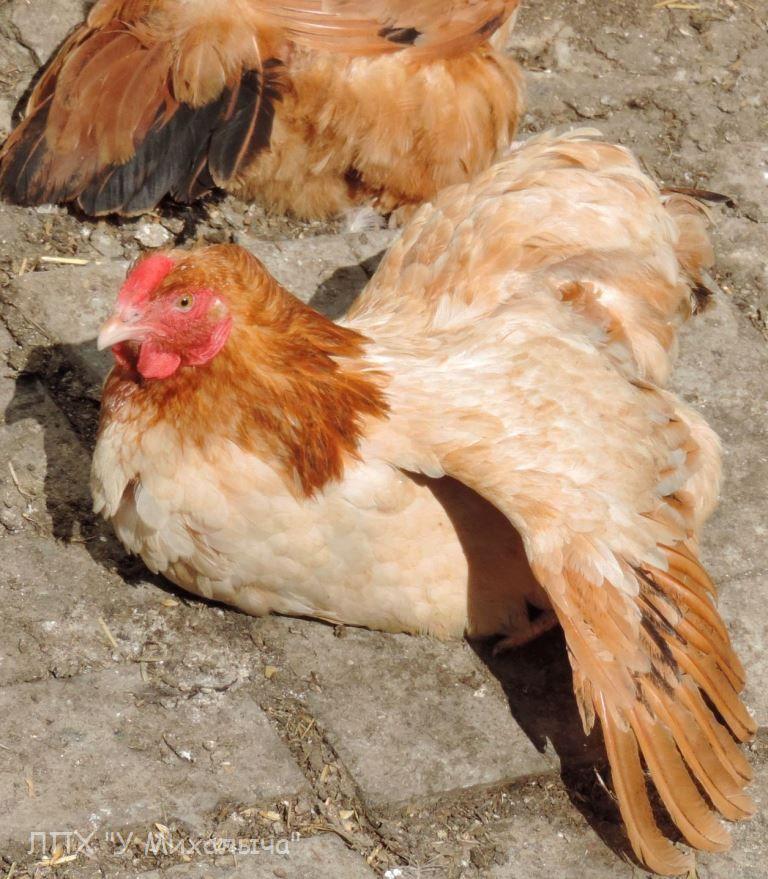 Порода кур Полтавская глинистая - Страница 10 -3004-25