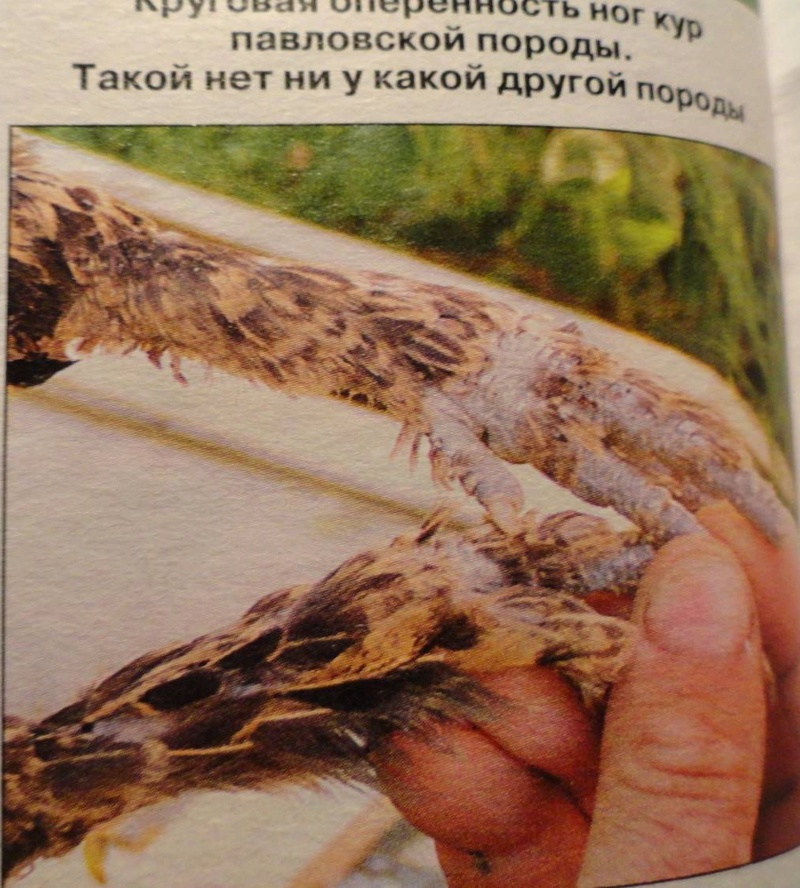 Павловская порода кур - Страница 18 33750310