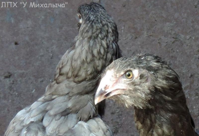 Гилянская порода кур, Gilan breed chickens Oaez-318