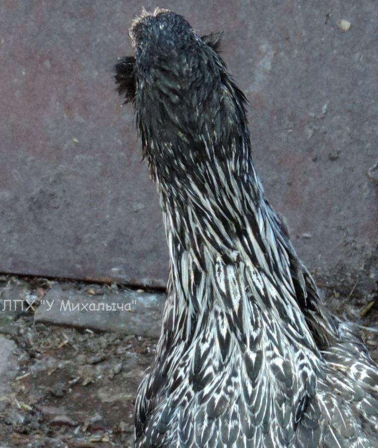 Гилянская порода кур, Gilan breed chickens Oaez-319