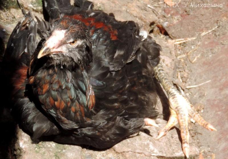 Гилянская порода кур, Gilan breed chickens Oaez-320