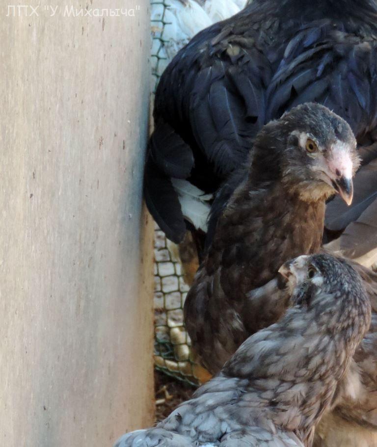 Гилянская порода кур, Gilan breed chickens Oaez-323