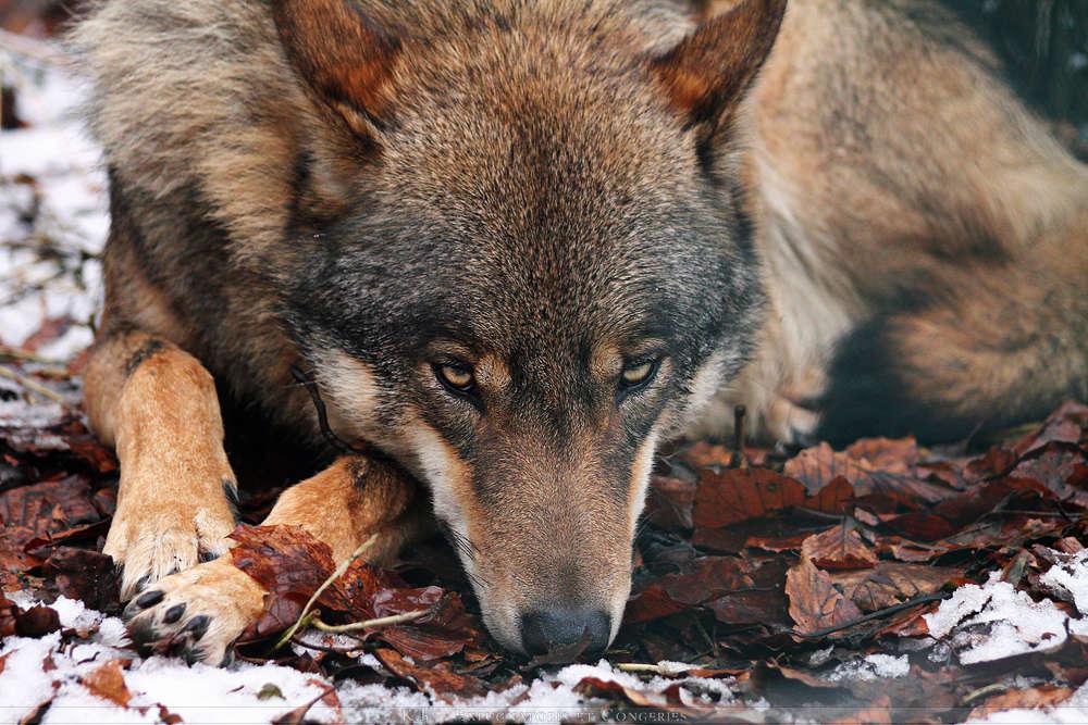 Thème : L'Esprit des Loups [Ouvert] Loup_a10