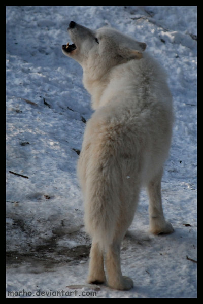 Thème : L'Esprit des Loups [Ouvert] Loup_b10