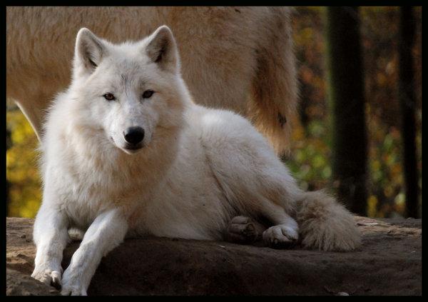 Thème : L'Esprit des Loups [Ouvert] Loup_b11