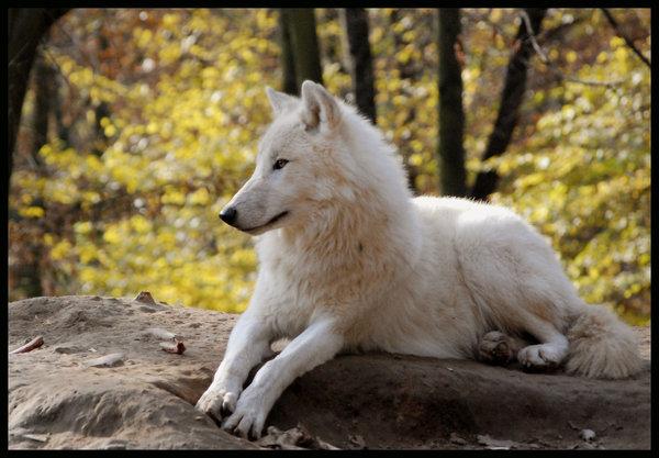 Thème : L'Esprit des Loups [Ouvert] Loup_b12