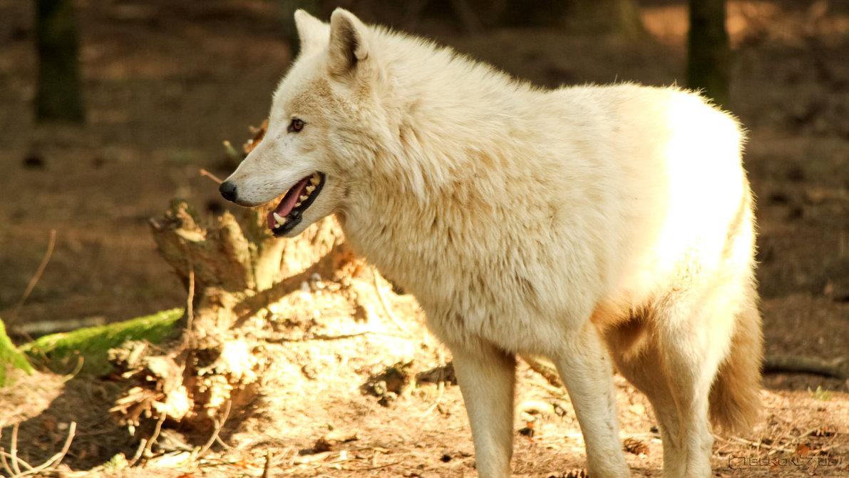 Thème : L'Esprit des Loups [Ouvert] Loup_b14