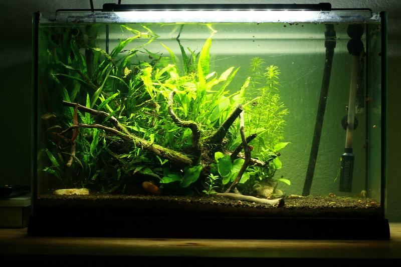 72 litres planté, Colisa - Corydoras - Page 2 Img_7414