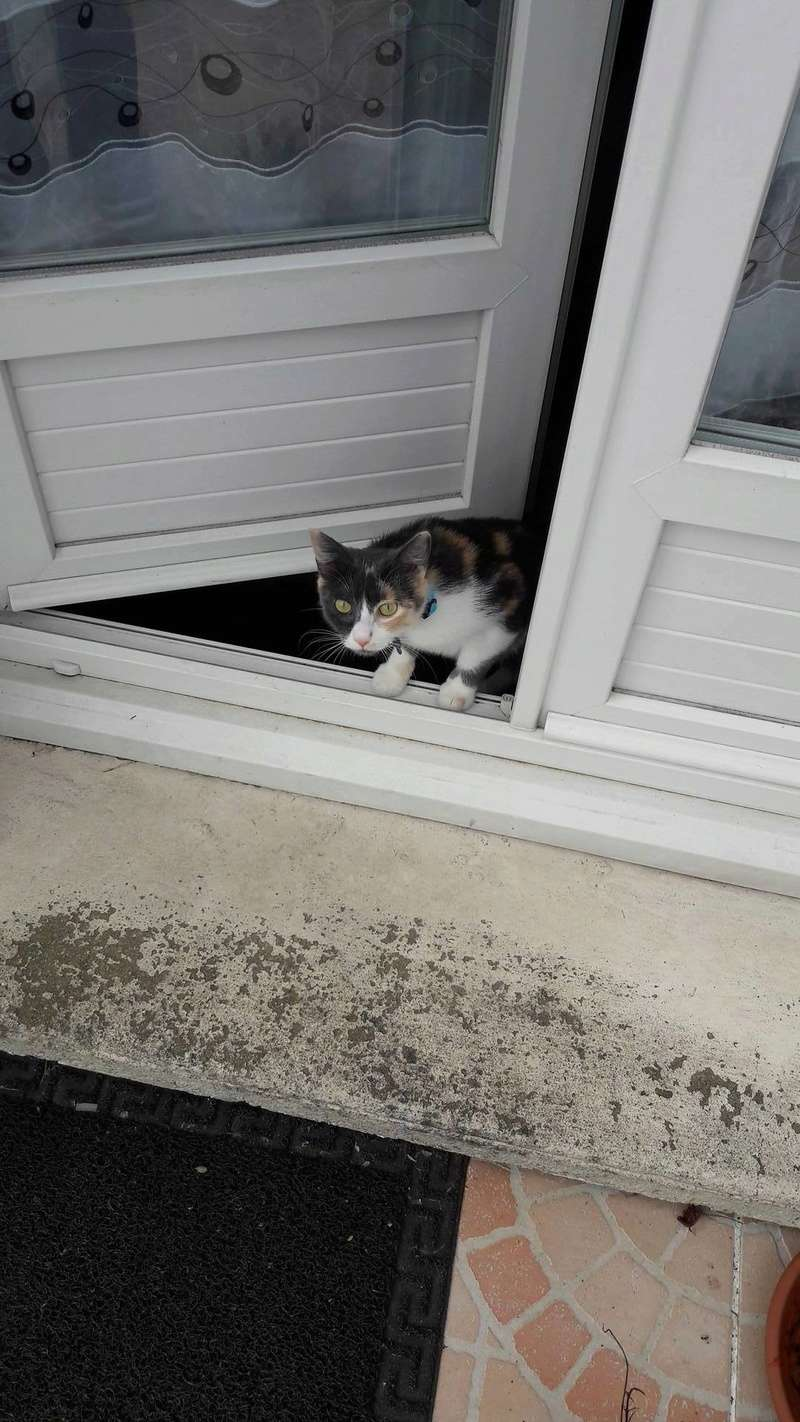 lisbeth - LISBETH, chatte européenne tricolore, née en 2015. 17522110