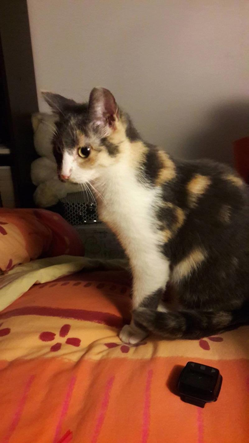 lisbeth - LISBETH, chatte européenne tricolore, née en 2015. 17759210