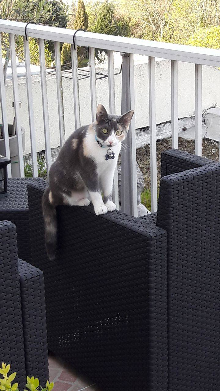 lisbeth - LISBETH, chatte européenne tricolore, née en 2015. 17976210