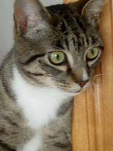 maestro - Maestro, chaton européen gris tigré aux pattes blanches, né en mai 2016 18198710