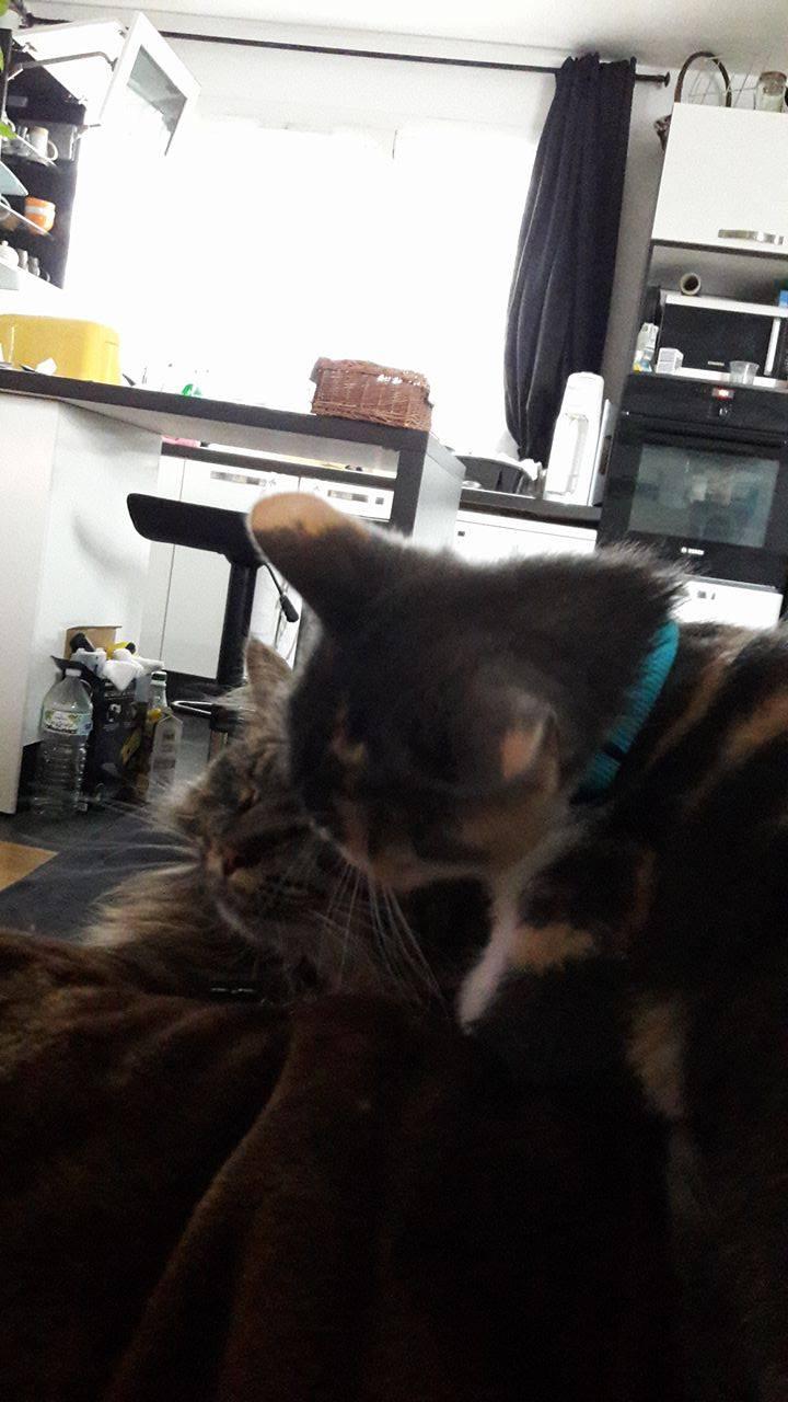 lisbeth - LISBETH, chatte européenne tricolore, née en 2015. 18215910