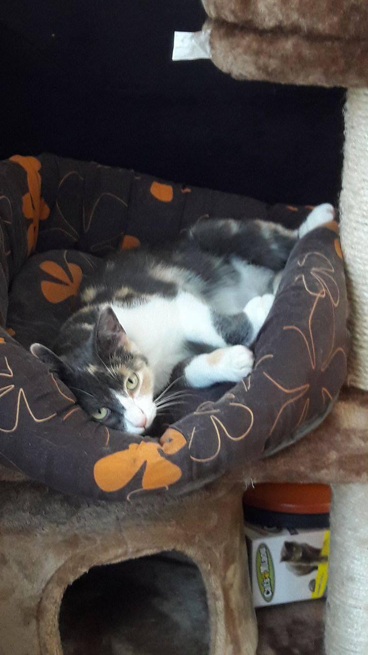 lisbeth - LISBETH, chatte européenne tricolore, née en 2015. 18767310